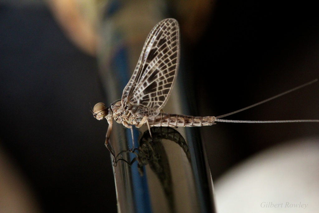 Rod Reflections-Mayfly