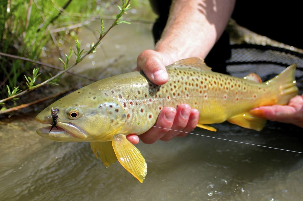 Brown Trout Stonefly Pattern