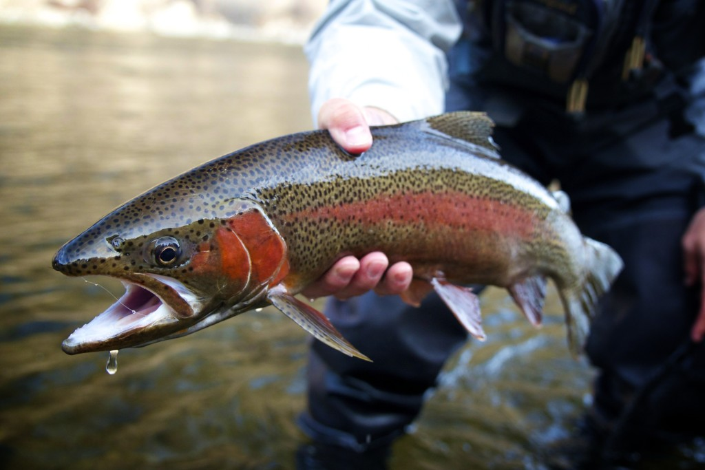 Montana Fly Fishing - Rainbow Trout