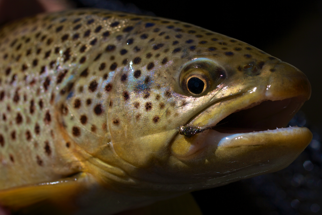 Tungsten Torpedo Brown Trout