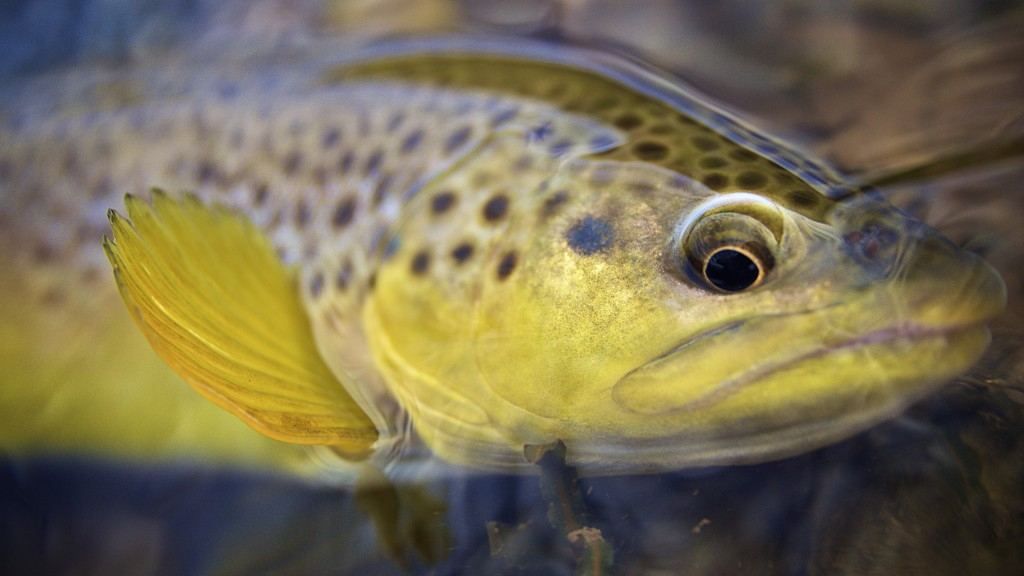 Brown Trout Photography