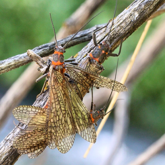 Salmonfly Cluster